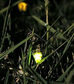definition of glowworm