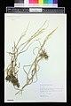 Glyceria notata herbarium (03).JPG