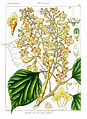 Gmelina arborea Govindoo.jpg