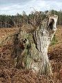 Gnarled old tree trunk - geograph.org.uk - 1203447.jpg