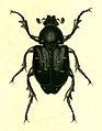 Gnorimus variabilis.jpg