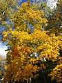 Golden Maple.jpg