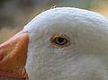 Goose Eye.jpg