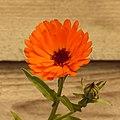Goudsbloem (Calendula officinalis) 13-07-2020. (actm.).jpg