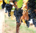 Grapes02.jpg