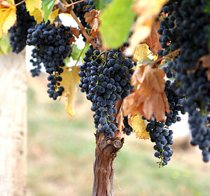 Annual growth cycle of grapevines - Grape vine and fruit