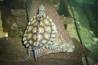 Yellow-blotched map turtle - Image: Graptemys.flavimacul ata