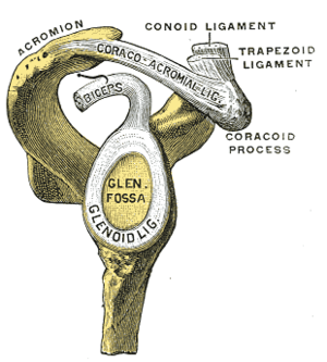 "Glenoid labrum - Lateral view of the shoulder showing the glenoid labrum (marked ""glenoid ligament"")"