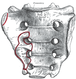 coccyx ossification age
