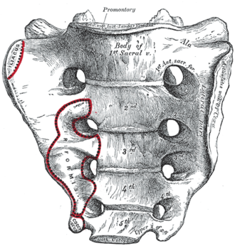 Intervertebral foramen - Sacrum, pelvic surface. (The two columns of four holes are the intervertebral foramina of sacrum, visible but not labeled.)