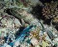 Greasy Grouper, Epinephelus tauvina at Elphinstone Reef, Red Sea, Egypt -SCUBA (6186085474).jpg