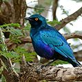 Greater Blue-eared Starling (Lamprotornis chalybaeus) (33374960912).jpg