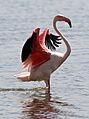 Greater Flamingo, Phoenicopterus roseus at Marievale Nature Reserve, Gauteng, South Afr (23034428599).jpg