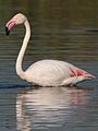 Greater Flamingo, Phoenicopterus roseus at Marievale Nature Reserve, Gauteng, South Africa (27290285194).jpg