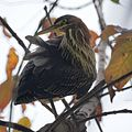 Green Heron (6201746832).jpg
