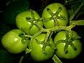 Green Tomatoes 5.jpg