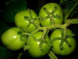 Green Tomatoes 5