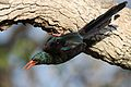 Green Wood Hoopoe, Phoeniculus purpureus, at Mapungubwe National Park, Limpopo, South Africa (30192391275).jpg