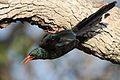 Green Wood Hoopoe, Phoeniculus purpureus, at Mapungubwe National Park, Limpopo, South Africa (30192391275).jpg