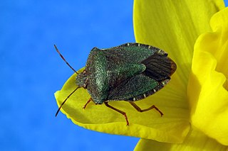 Green shield bug species of insect