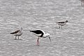 Greenshank and Marsh Sandpiper (24783724205).jpg
