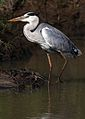 Grey Heron, Ardea cinerea, at Pilanesberg National Park, Northwest Province, South Africa (28569532395).jpg