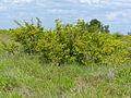 Grey Raisin (Grewia monticola) (11530203835).jpg