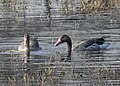Greylag Geese Anser anser by Dr. Raju Kasambe DSCN1161 (10).jpg
