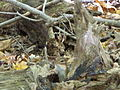 Griffy Woods - chipmunk - P1100476.JPG