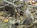 Griffy Woods - chipmunk - P1100476.JPG