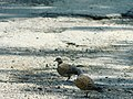 Grlica, mužjak i ženka (Streptopelia turtur); European Turtle-dove male and female.jpg