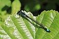 Große Pechlibelle Ischnura elegans 5232.jpg