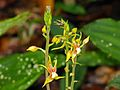 Ground Orchids (Plocoglottis acuminata) (8090085123).jpg