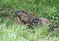 Groundhog (40886079213).jpg