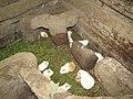 Guinea Pigs - Cuy - Inti Nan Museum - El Mitad del Mundo - equator exhibit - Quto Ecuador (4870686740).jpg