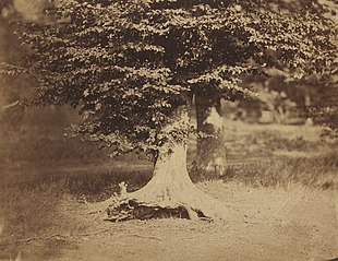 Beech Tree, Forest of Fontainebleau