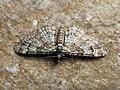 Gymnoscelis rufifasciata - Double-striped pug (40242698084).jpg
