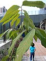 HK Mid-levels High Street clubhouse green leaves plant February 2019 SSG 48.jpg