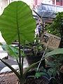 HK Sheung Wan Tung Wah Hospital Chinese plant Bryophyllum Pinnatum Aug-2012.JPG