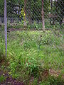 Habit gelb blühende Pflanze Waldgebiet Hanau Juni 2012.JPG