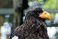 Haliaeetus pelagicus -Edinburgh Zoo, Scotland -head-8.jpg