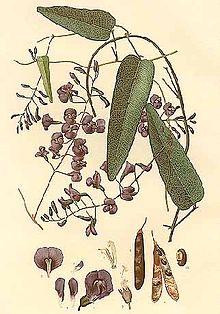 Hardenbergia monophylla.jpg
