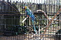 Harlequin Macaw, Wild Adventures.JPG