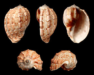 <i>Harpa harpa</i> species of mollusc