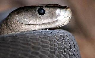 Mamba Genus of venomous snakes