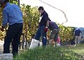 Harvesting Semillon grapes at Gisborne Peak.jpg