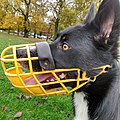 Headshot of a Border Collie named Morango wearing a yellow muzzle.jpg