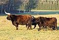 Heck cattle female.jpg
