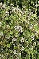 Helichrysum lanceolatum kz05.jpg