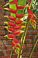 Heliconia in the Kundasang memorial (11967208355).jpg
